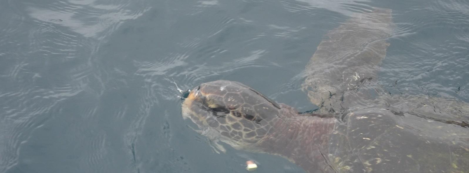 Sea Turtle Isla de la Plata
